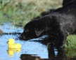 Dog In Water Jigsaw Puzzle